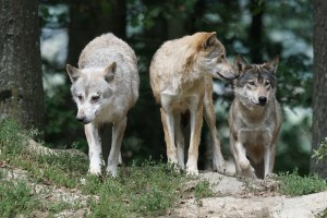 timber-wolves-907680_640